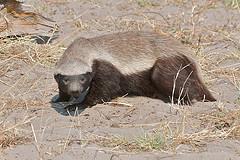 honey badger photo